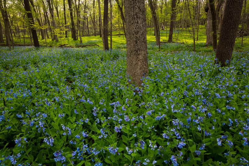 Blues in the Woods I