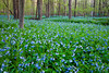 Large patch of Virginia Bluebells carpets Messenger Woods. Homer Glen, IL<br /> <br /> IL-090505-0009