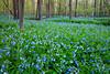 Large patch of Virginia Bluebells carpets Messenger Woods. Homer Glen, IL<br /> <br /> IL-090505-0009