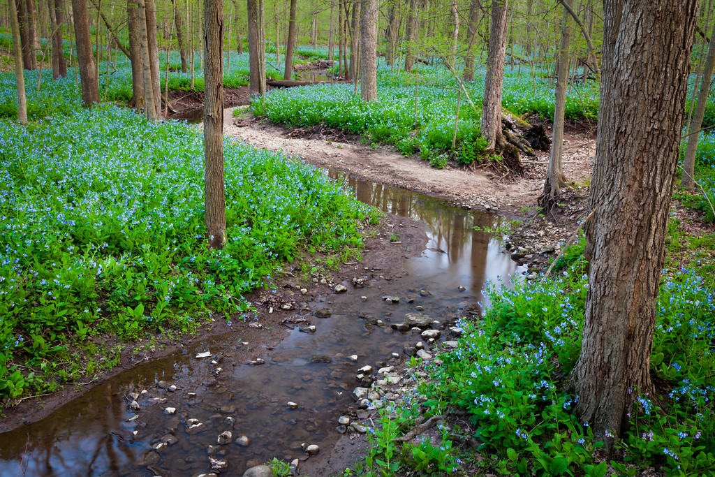 Bluebells & Creek