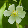 Mayapple flower. Homer Glen, IL<br /> <br /> IL-070507-0014