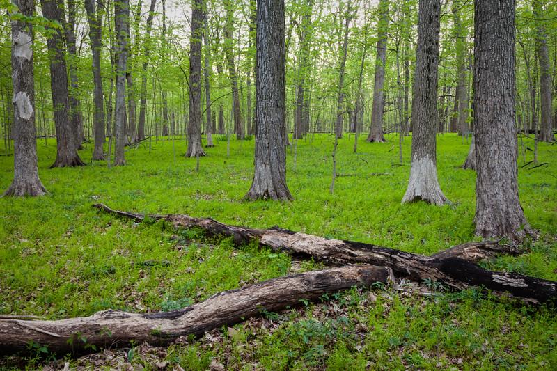 Dead fallen trees criss-cross amongst the vibrant new growth in Messenger Woods. Homer Glen, IL<br /> <br /> IL-090505-0032