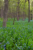 Bluebells grow abundant on Messenger Woods. Homer Glen, IL<br /> <br /> IL-130506-0014