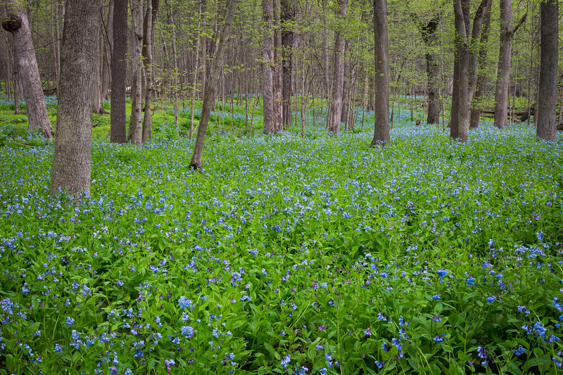 Bluebells grow abundant on Messenger Woods. Homer Glen, IL<br /> <br /> IL-130506-0004