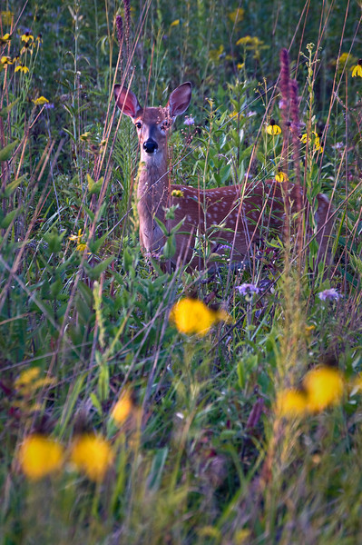 WRP 014                       A whitetail fawn amount the wildflowers at Wolf Road Prairie Nature Preserve, Westchester, IL.