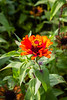 Zinnia - Zowie Yellow Flame