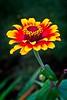 Rick's POTD - Zinnia - Zowie Yellow Flame