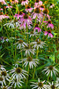 Pink and White Cone Flowers
