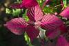 Pink Veined Leaves