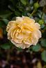 Rose - Julia Child