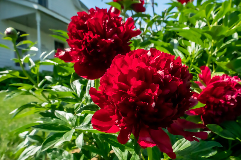 Peonies at the Atwood Home within Kennekuk County Park in Vermilion County Illinois