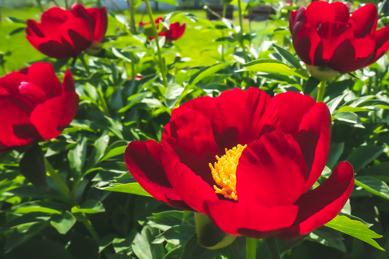 Peonies within Kennekuk County Park in Vermilion County Illinois