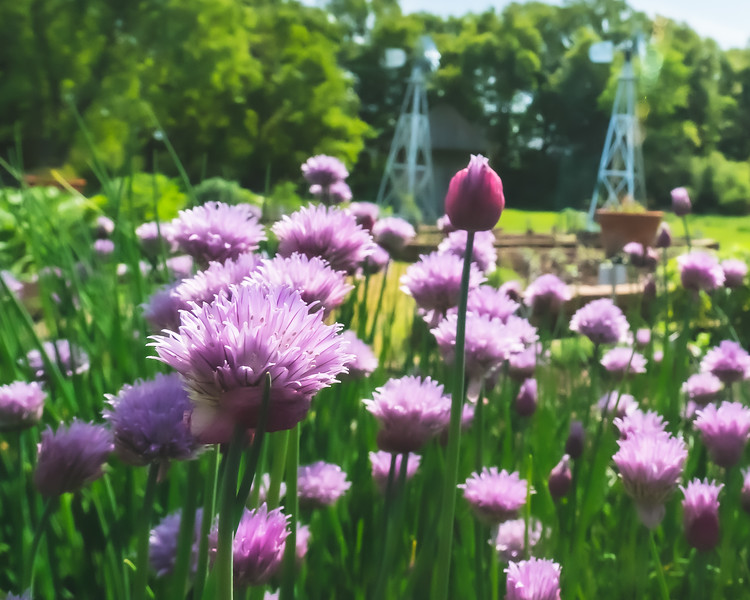 Chives at Kennekuk County Park in Vermilion County Illinois