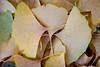 Fallen Gingko leafs. Lisle, IL<br /> <br /> IL-111012-0017