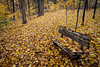 Rain and winds has deposited golden leafs on the ground and trails of the East Woods at the Morton Arboretum. Lisle, IL<br /> <br /> IL-121023-0024