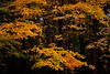 Maple leafs glow bright yellow with sunset light. Lisle, IL<br /> <br /> IL-111011-0040