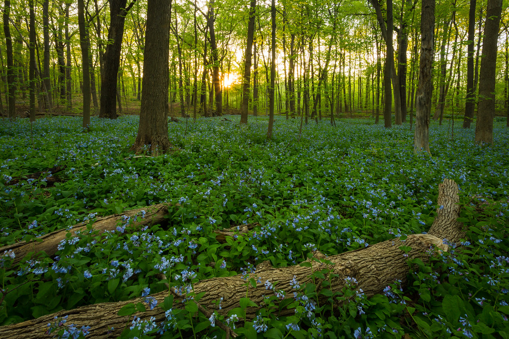 Bluebells and Sunset