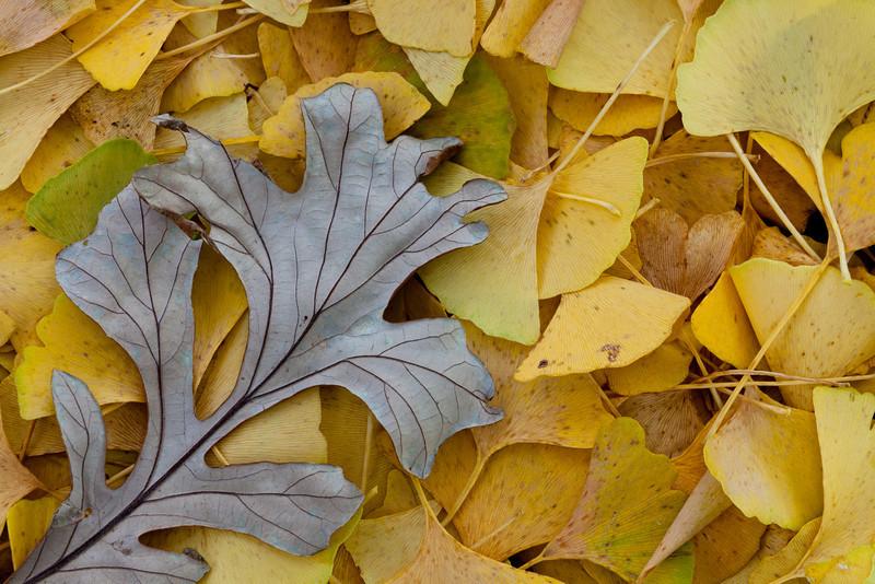 Bright Ginkgo leafs provide a bright background for a fallen Oak leaf. Lisle, IL<br /> <br /> IL-111012-0024