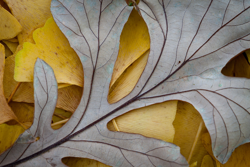 Bright Ginkgo leafs provide a bright background for a fallen Oak leaf. Lisle, IL<br /> <br /> IL-111012-0030