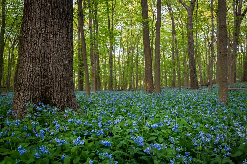 Morton's Bluebells