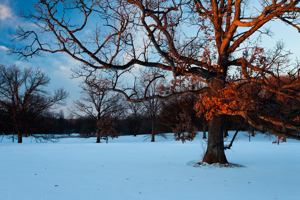 As a winter sunset approaches, the last light of the day shines of the remaining leafs on an oak tree at the Morton Arboretum. Lisle, IL<br /> <br /> IL-110204-0030
