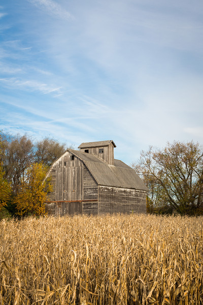 Corn waiting to be harvested stands on a farm on the outskirts of DuPage County. Aurora, IL<br /> <br /> IL-121031-0019