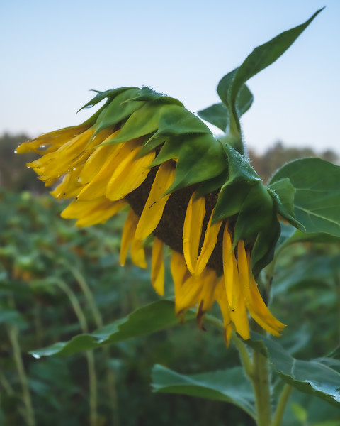 Sunflower at Sam Parr State Park in Newton Indiana