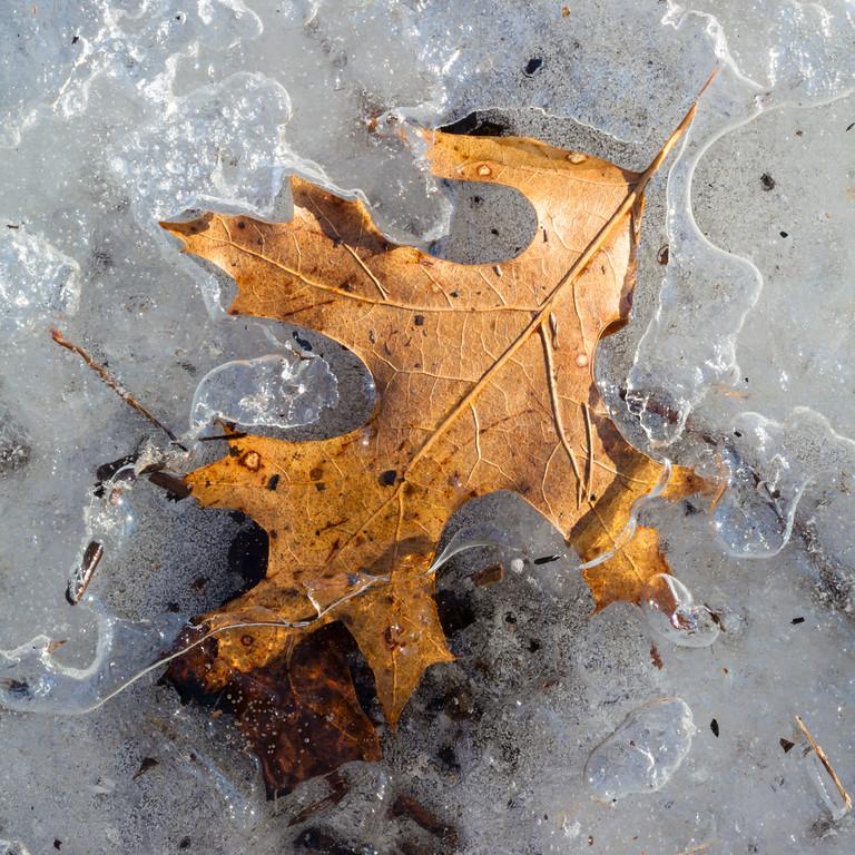 Oak leaf partially encased in ice. Zion, IL<br /> <br /> IL-090208-0062