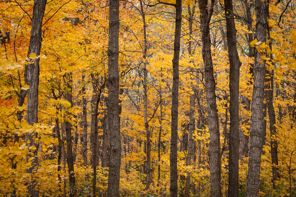 Sugar maple forest in Kankakee River State Park. Bourbonnais, IL<br /> <br /> IL-111030-0134