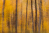 Abstract of sugar maple forest in autumn color. Bourbonnais, IL<br /> <br /> IL-111030-0135