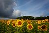 Matthiessen State Park sunflower field.<br /> <br /> IL-200722-0060