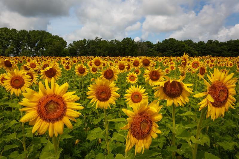 Matthiessen State Park sunflower field.<br /> <br /> IL-200722-0150