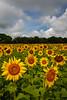 Matthiessen State Park sunflower field.<br /> <br /> IL-200722-0117