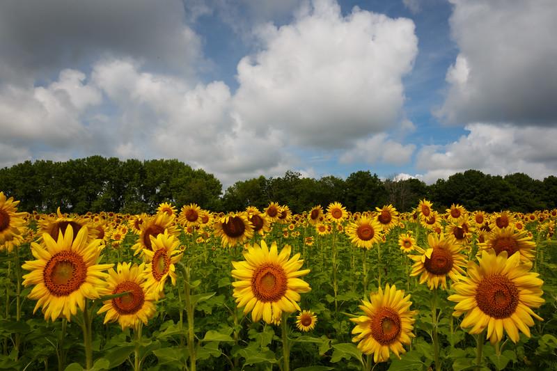 Matthiessen State Park sunflower field.<br /> <br /> IL-200722-0096