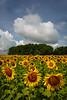 Matthiessen State Park sunflower field.<br /> <br /> IL-200722-0061