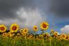 Matthiessen State Park sunflower field.<br /> <br /> IL-200722-0027