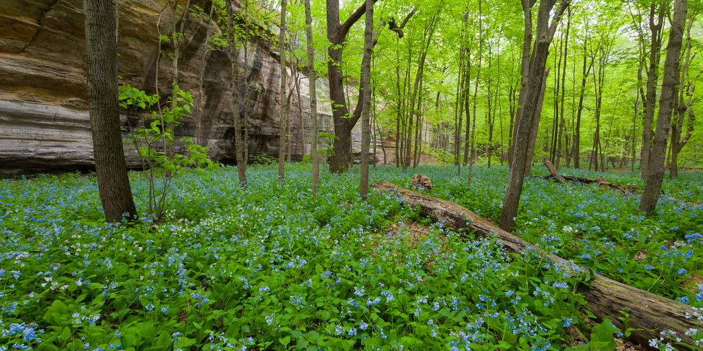 Virgian Bluebells ground cover Illinois Canyon. Lasalle County, IL<br /> <br /> IL-100423-0247