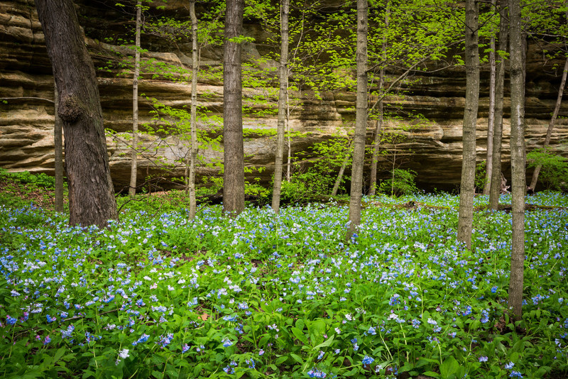Illinois Bluebells