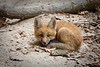 A fox kit rests on the sandy ground of the Illinois Canyon. Lasalle County, IL<br /> <br /> IL-100423-0074