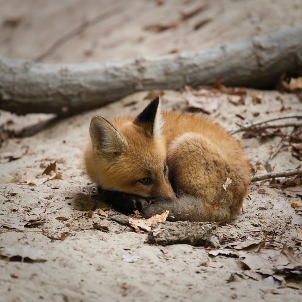 A fox kit rests on the sandy ground of the Illinois Canyon. Lasalle County, IL<br /> <br /> IL-100423-0031