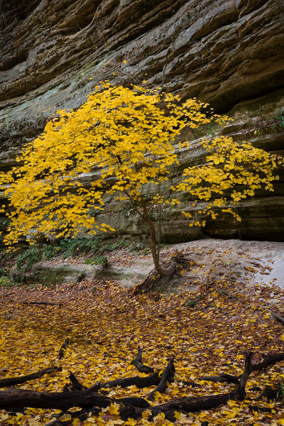 Maple Tree in Canyon