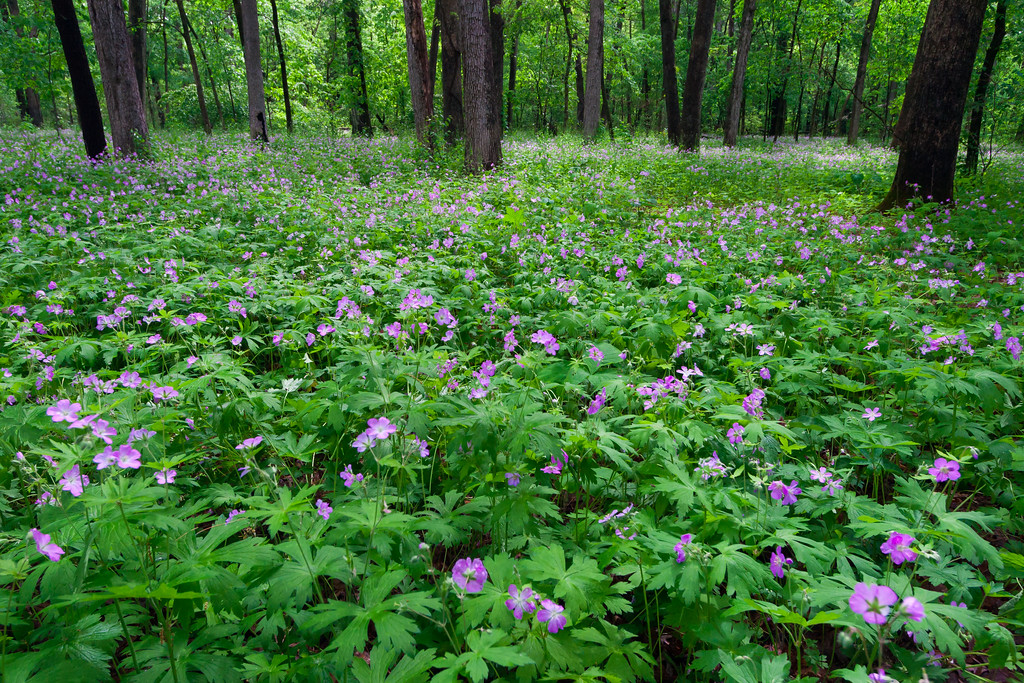 Spring brings wild geranium blooms to the woods in White PInes. Mt. Morris, IL<br /> <br /> IL-080526-0008