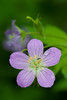 Wild Geranium at White Pines. Mt. Morris, IL<br /> <br /> IL-080526-0026