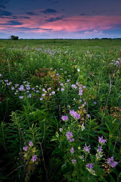 GLP 017                     Bergamot blooms at sunset, Goose Lake Prairie State Park, Grundy County, IL.