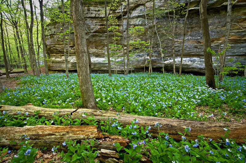 SR 065                    Virginia bluebells cover the floor of Illinois Canyon at Starved Rock State Park, Utica, Illinois.