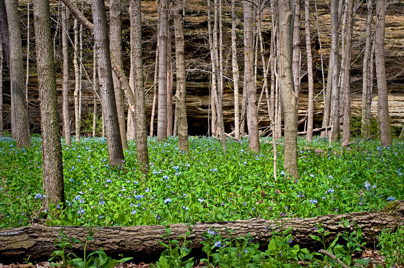 SR 056                         Virginia bluebells cover the floor of Illinois Canyon at Starved Rock State Park, Utica, Illinois.
