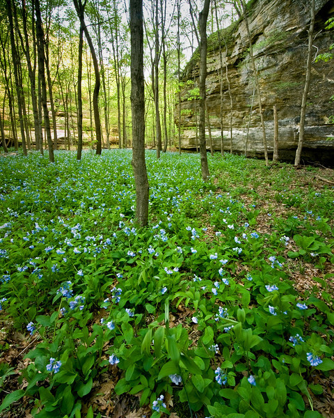 SR 001                    Virginia bluebells cover the floor of Illinois Canyon at Starved Rock State Park, Utica, Illinois.