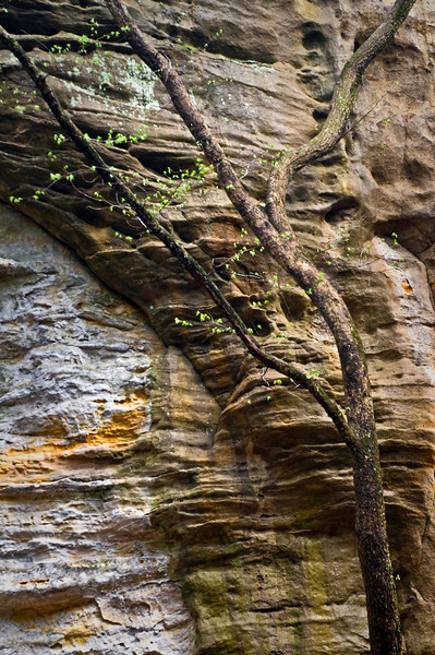 SR 026                       Tree trunks against the St. Peter sandstone walls of Illinois Canyon, Starved Rock State Park, Utica, Illinois.