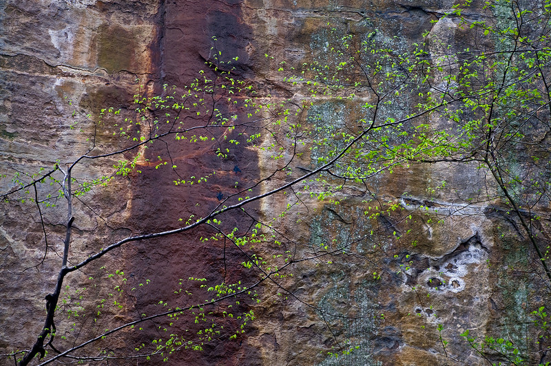 SR 029                     Spring leaves against the St. Peter sandstone walls of Illinois Canyon, Starved Rock State Park, Utica, Illinois.