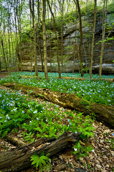 SR 066                       Virginia bluebells cover the floor of Illinois Canyon at Starved Rock State Park, Utica, Illinois.